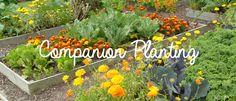 Companion planting #PalmersGardenCentre #MariaQuayleGuppy