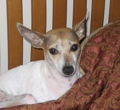 "Great article about Rat Terriers! ""My Rat Terrier - The Best Breed in The World!"""
