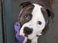 TO BE DESTROYED THURSDAY! 3/20/14- Manhattan Center    SNOOPY - A0993112    MALE, BR BRINDLE / WHITE, PIT BULL MIX, 2 yrs, 4 mos  OWNER SUR - EVALUATE, NO HOLD  Destroyed DESTROYED DESTROYED!
