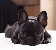 The major breeds of bulldogs are English bulldog, American bulldog, and French bulldog. The bulldog has a broad shoulder which matches with the head. Cute French Bulldog, French Bulldog Puppies, Frenchie Puppies, Black French Bulldogs, English Bulldogs, Cute Puppies, Cute Dogs, Dogs And Puppies, Doggies