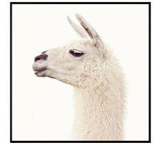 """Llama by Jennifer Meyers, 48 x 48"""", Wood Gallery, Black, No Mat"""