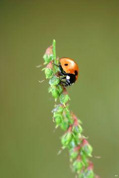 ladybird - Mimikletterer | Flickr - Photo Sharing!
