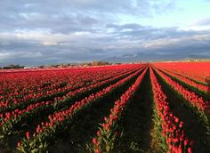 Skagit Valley tulip fields have become a tourist attraction. As a teenager I dug bulbs.