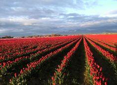 Tulip fields in LaConner, WA