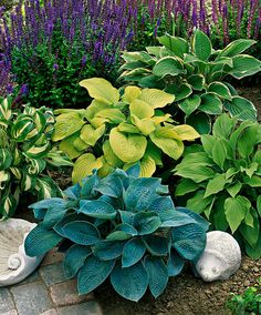 Hostas Mixed | Specials from Spalding Bulb