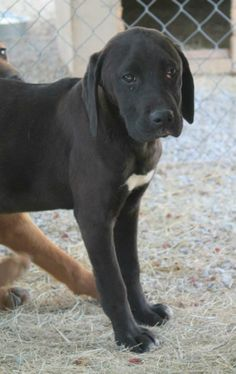 Available for Rescue or Adoption 04/10/2014 16-18 Weeks Old, 20 Pounds, Lab, Hound, Great Dane Pointer Mix   The Card Kids have not had the best of lives but they are not letting it get them down. They are a bit on the thin side and a little scared, Ace is suffering from cherry eye but other than that all seem pretty healthy. They love people and the attention they shower on them. A couple of them even smile.   White County Animal Shelter Sparta, TN 931-761-3647…