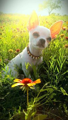 Chihuahua loving the field of flowers...