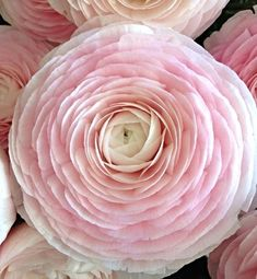 Rannunculus by Lady Fleur Birth Flowers, Love Flowers, Beautiful Flowers, June Flower, Ranunculus Flowers, David Austin Roses, Flower Pictures, Tatt, Beautiful Gardens