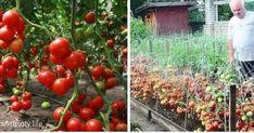 Dorești să ai suficiente roșii pentru mâncare și conservare pentru iarnă? Secretul unei recolte abundente constă într-o soluție destinată...