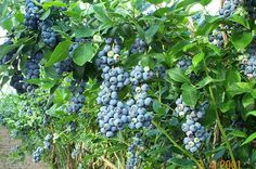 Temperate Climate Permaculture: Permaculture Plants: Blueberries