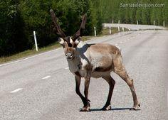 Reindeer on the road in Rovaniemi in Lapland