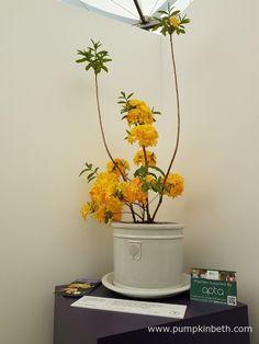 Rhododendron 'Huisman's Sun Star' is a deciduous azalea, bred in Holland, by Tijs Huisman. Chelsea Flower Show, Year 2016, Gerbera, Chrysanthemum, Yellow Flowers, Holland, Pumpkin, Sun, Plants