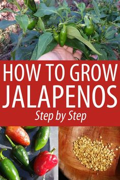 Growing Jalapenos Step by Step Growing Jalapenos, Growing Peppers, How To Grow Jalapenos, Pepper Plants, Pepper Seeds, Stuffed Jalapeno Peppers, Jalapeno Sauce, Gardens, Plants