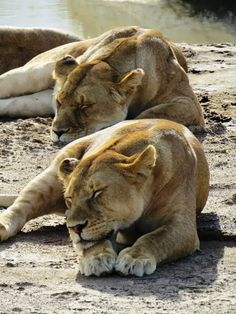 Sleeping lions in the Serengeti. Photo by Thomson Safaris guests, James & Christine M.