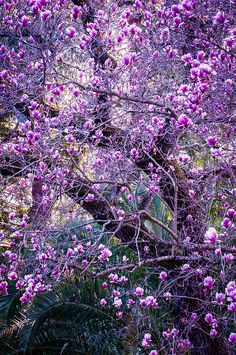 Pink and white flowers - Magnolia, California