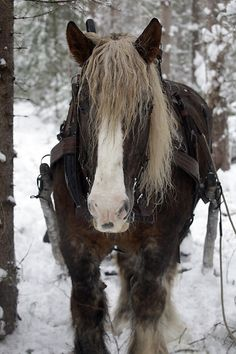 Ardenner, Sweden, shows the pure power and elegance of a horse. The rawness of the beauty this animal shows is truly amazing. I love this picture <3