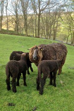 black Wensleydale ewe and lambs