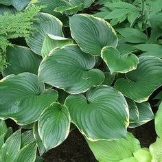 Hosta 'Leading Lady'
