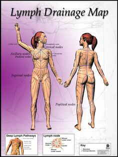 Anatomy of Lymphatic Drainage Massage Chart. This shows the lymphatomes and watersheds as well as the location of major lymph nodes. www.realbodywork.com