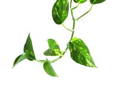Air-purifying plants: devil's ivy is excellent for filtering out formaldehyde.