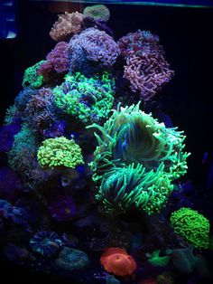 The Hammer Cube is a masterpiece created by a reefer named Andrew who is located down below in Australia. He decided that with this new 60 gallon cub Coral Reef Aquarium, Saltwater Aquarium Fish, Saltwater Tank, Marine Aquarium, Freshwater Aquarium, Underwater Creatures, Ocean Creatures, Underwater World, Nano Reef Tank