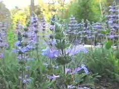 California Native Plants / Groundcover. Low water plant species create beautiful hassle free landscaping for Western state gardeners. Salvia sonomensis / Creeping Sage