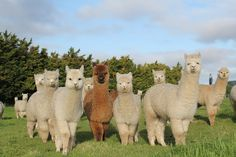 Fluffy Cows, Fluffy Animals, Cute Baby Animals, Farm Animals, Animals And Pets, Alpacas, Cute Animal Photos, Animal Pictures, Llama Pictures