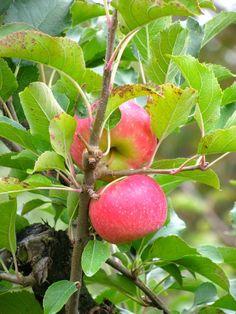 Apples 'Pink Lady'.