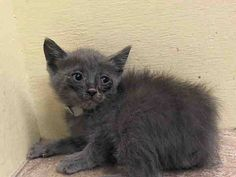 TO BE DESTROYED 7/18/14 ** BABY ALERT! ONLY 6 WEEKS OLD! 4 young kittens came togrther A1006586, 587, 588 came without queen can eat on own- very good app ** Manhattan Center  My name is IRMA. My Animal ID # is A1006590. I am a female gray domestic sh mix. The shelter thinks I am about 5 WEEKS old.  I came in the shelter as a STRAY on 07/14/2014 from NY 10458. I came in with Group/Litter #K14-185794.