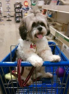 Shih Tzu Personality Information | Your Shih Tzu image search results
