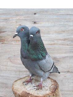 Weird 2 Headed Grey Barred Pigeon Real Bird Taxidermy mount