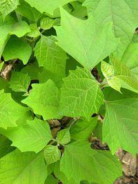 Gambhari - La gambhari est une plante médicinale de la pharmacopée traditionnelle Âyurveda, utilisée depuis des millénaires pour soigner de nombreux maux et troubles de la santé, elle est toujours usité de nos jours, même en pharmacologie industrielle. La gambhari soigne les constipations et les maladies vé... http://www.complements-alimentaires.co/wp-content/uploads/2015/07/Gambhari-Gmelina_arborea.jpg - Par Nathalie sur Compléments alimentaires  #Lesplantesdelafam