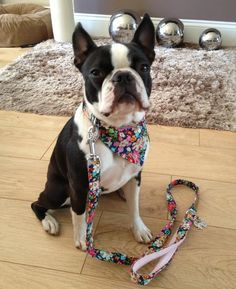 Training for a Trainer Boston terrier
