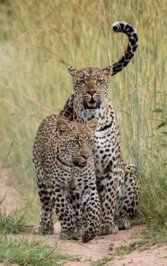 Leopards Animals Images, Nature Animals, Animal Pictures, Cute Animals, Small Wild Cats, Big Cats, Cool Cats, Animal Spirit Guides, Spirit Animal