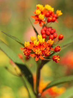 Tropical Milkweed - It's hard to decide what's prettier, the brilliant red, yellow, and orange tropical milkweed flowers or the scores of Monarch butterflies they attract. Note: Monarch caterpillars will eat the foliage of this plant.