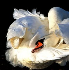 20 of February by Alexander Andronik Swan Love, Beautiful Swan, Beautiful Birds, Swan Pictures, Bird Pictures, Animal Heads On Wall, Cygnus Olor, Animals And Pets, Cute Animals