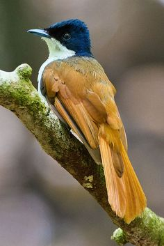 Shining Flycatcher female | Flickr - Photo Sharing!