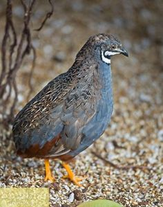 Blue breasted Quail, Painted Quail, Coturnix chinensis