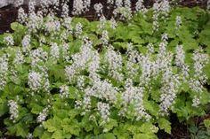 Foam flower is a beautiful perennial flower. This one is not a ground cover. Instead, it has lots of individual blooms on one stem.