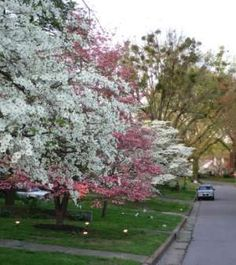 Dogwood Trail - A gorgeous feature every spring in Paducah
