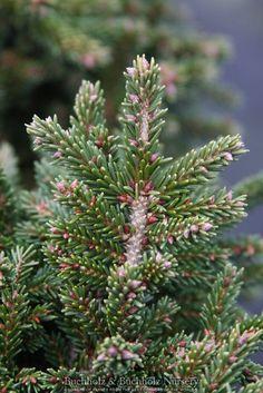 Kigi Nursery - Picea orientalis ' Mount Vernon ' Miniature Oriental Spruce, $25.00 (http://www.kiginursery.com/dwarf-miniatures/picea-orientalis-mount-vernon-miniature-oriental-spruce/)