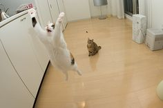 Flying cat This is why I love cats… cats I Love Cats, Cute Cats, Funny Cats, Funny Animals, Cute Animals, Crazy Animals, Animal Funnies, Adorable Kittens, Funny Cat Pictures