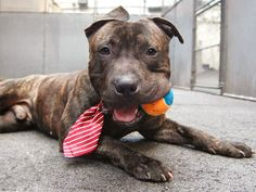 TO BE DESTROYED - 05/22/14 Manhattan Center   WEBSTER - A0999974   MALE, BR BRINDLE, PIT BULL MIX, 2 yrs STRAY - STRAY WAIT, NO HOLD Reason STRAY  Intake condition NONE Intake Date 05/16/2014, From NY 10457, DueOut Date 05/19/2014,  https://www.facebook.com/photo.php?fbid=806084132737801&set=a.617938651552351.1073741868.152876678058553&type=3&theater