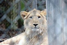 https://flic.kr/p/qPoCfc | Lion - Bristol Zoo | September 2013