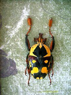 Bottlebrush African Beetle