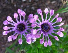 Una dintre cele mai rare și frumoase flori din lume se află în România