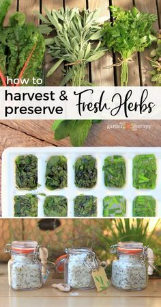 How to Harvest and Preserve Fresh Herbs - Garden Therapy - - There are more ways to preserve herbs than just drying them.These creative ideas will preserve the freshness of the herb garden all year. Herb Garden Design, Herbs Garden, Garden Ideas, Garden Shrubs, Garden Types, Gardening For Beginners, Gardening Tips, Container Gardening, Compost Container
