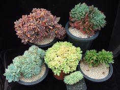 From top left, clockwise:  XGraptoveria 'Fred Ives', E.'Briar Rose', E.'spectabilis, E. 'Ramillete, Pachyphytum compactum, E. peacockii