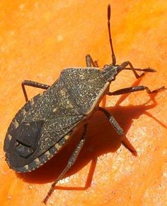 """Organic pest control for the garden including slugs, aphids, squash bugs, caterpillars, and """"leaf miners"""""""