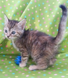Meet Alana 22168, a Petfinder adoptable Domestic Short Hair Cat | Prattville, AL | Alana is a 7 week old tabby/tortoiseshell female kitten.Dogs and puppies may be adopted for a fee...